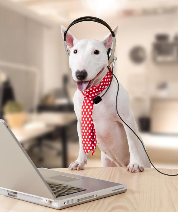 Support Caller Concierge Dog Pit Bull wearing Headphones