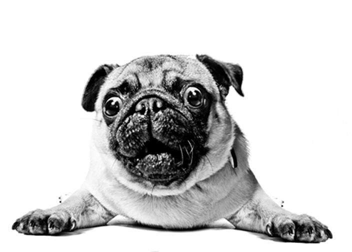Surprised Pug