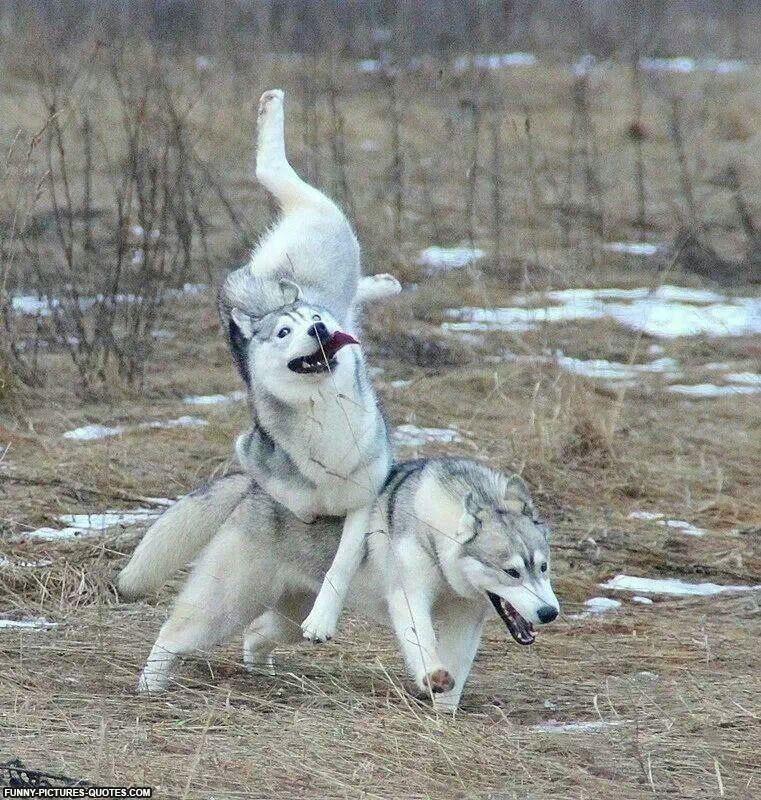 Derpy Huskies