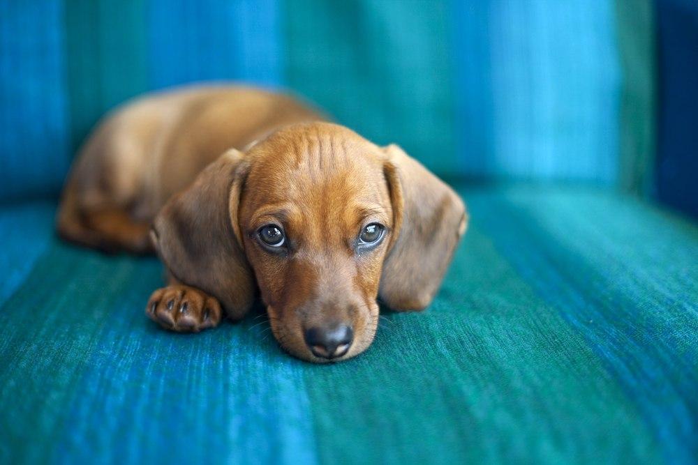 sad floppy eared dog