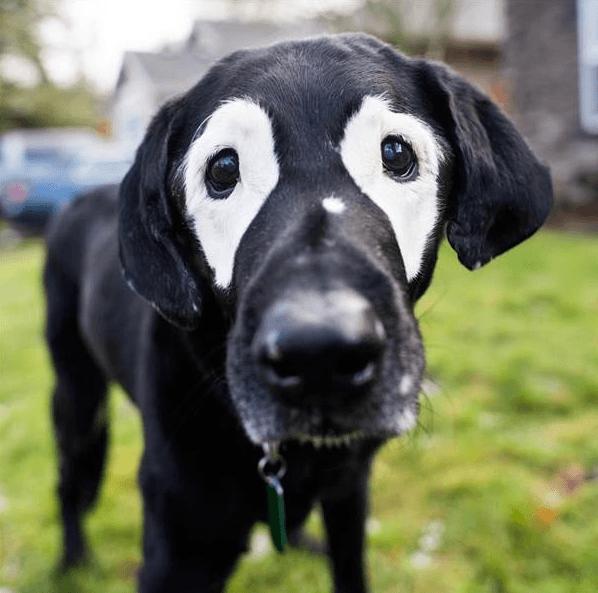 Rowdy the Labrador Retreiver