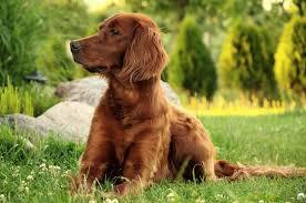 Irish Setters, dog breeds