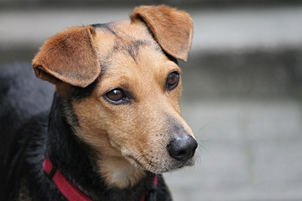 dog breeds, need ears cleaned