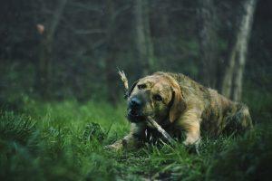 dog eating grass, dog digestion