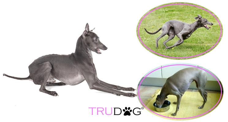 Caring For My Italian Greyhound