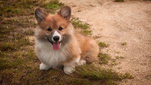 caring for dog, welsh corgi