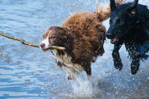 dog arthritis, joint, health, healthy