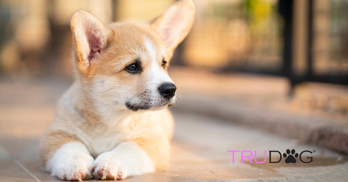 Caring For Corgi Puppies Trudog