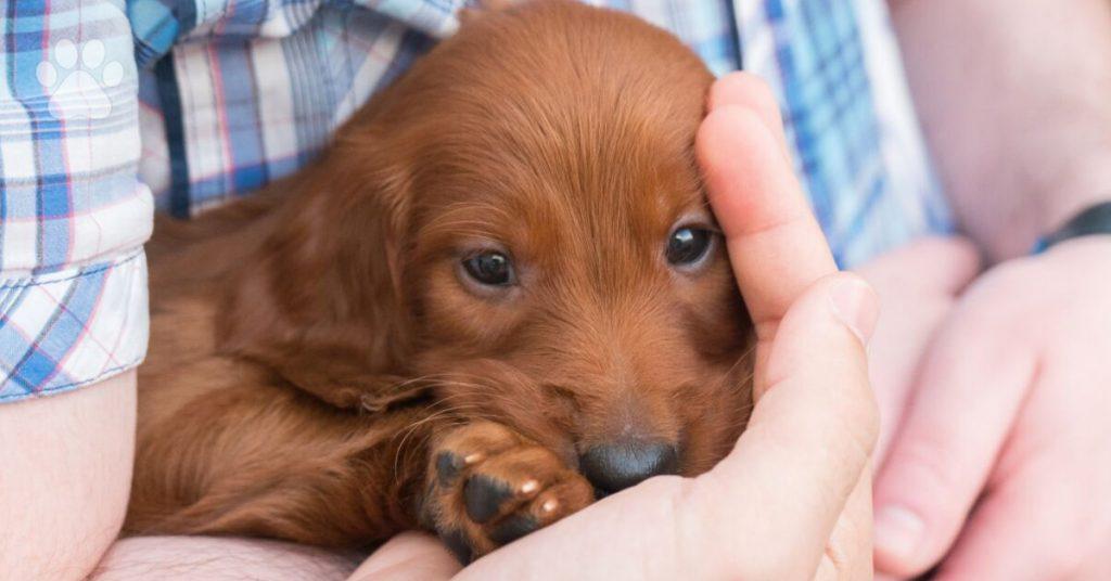 Irish Setter puppy care, training your Irish Setter