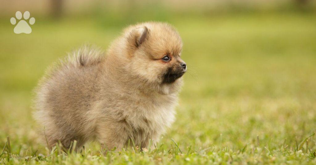 pomeranian puppies, caring for pomeranians
